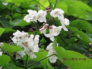 오동나무 꽃