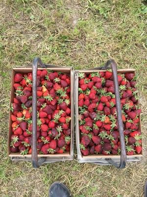 알링턴 딸기 농장