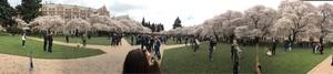 워싱턴 대학 Quad cherry blossom.