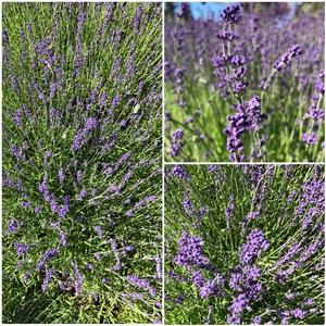 라벤더 향이 가득 #Lavender#